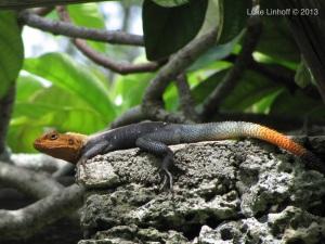 Linhoff lizard